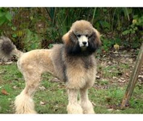 sable poodle color          p