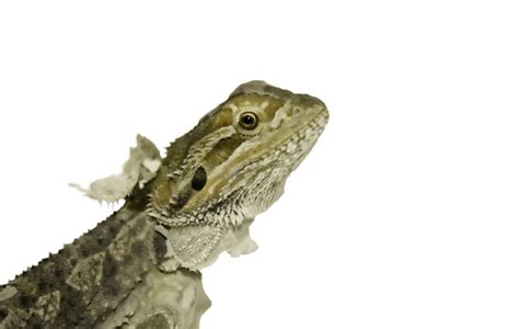 what to do for a shedding bearded dragon dragons