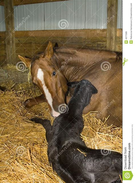 foal mare newborn veulen pasgeboren born horse quarter baby merrie birth royalty dreamstime preview