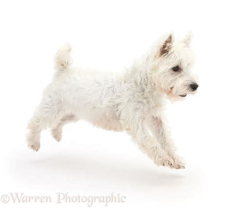 Here, some of her greatest accomplishments over the. Dog: Westie leaping across photo WP35081