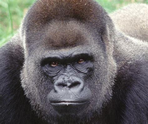 N.C. Zoo's first-ever gorilla dies at 50 | North Carolina ...