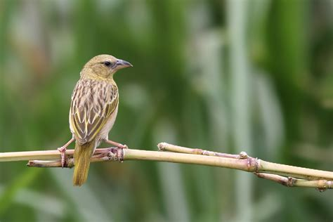 south weaver bird southern brown throated weaver bird wildlife photography by richard and eileen flack