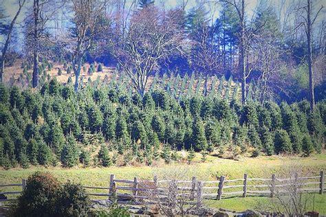 christmas tree farms in nc our trees tom sawyer christmas tree farm 5892