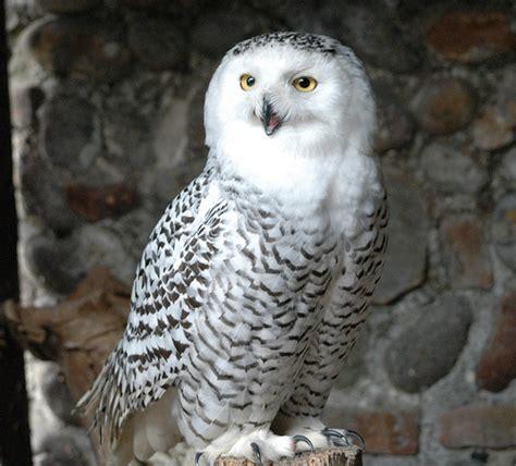 female snowy owl flickr photo sharing