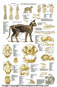 Vintage Medical Charts Cat Anatomy Poster And Skeleton Clinical Charts And Supplies