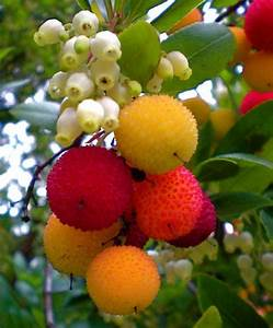 Arbutus Unedo... The Strawberry Tree flowers and edible ...