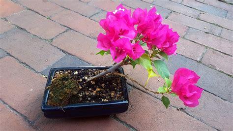 potted pre bonsai bougainvillea