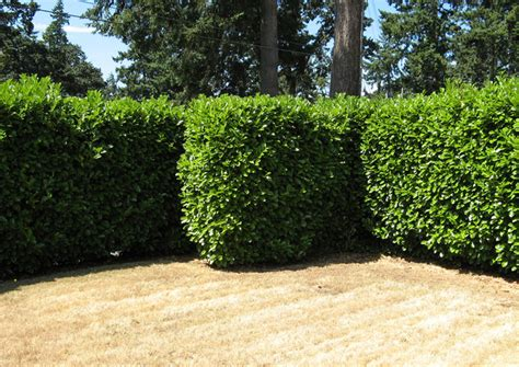 best bushes for hedges the 7 best trees and shrubs for privacy screening in your backyard