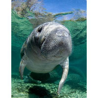 Tips From a Pro: Photographing ManateesPopular Photography