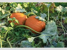 How to Grow Pumpkins For Halloween This Year INSTALLIT