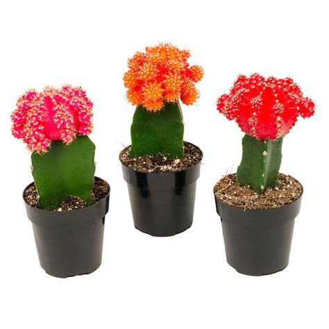 grafted cactus grafted cactus plants pictures to pin on pinterest pinsdaddy