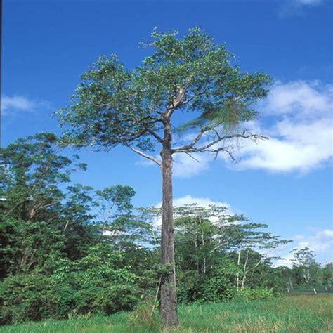 jual benih akasia mangium 20 gram bibitbunga