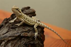 Small Animal Talk: Lizard medicine 101: How do you treat a ...