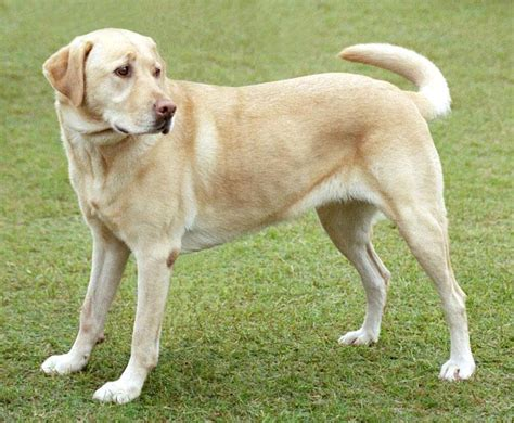 Dogs That Dont Shed For Adoption by Labrador Retriever Pictures Of Dogs And All About Dog