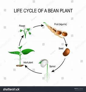 Life Cycle Bean Plant Stages Growing Stock Vector