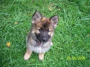 Cute Puppy Dogs: Cute german shepherd mix puppies