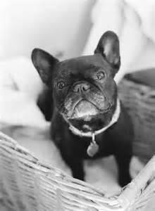 Grey Frenchie Bulldog
