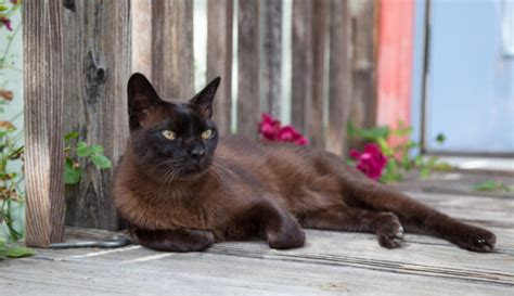 Burmas kaķa izcelsme