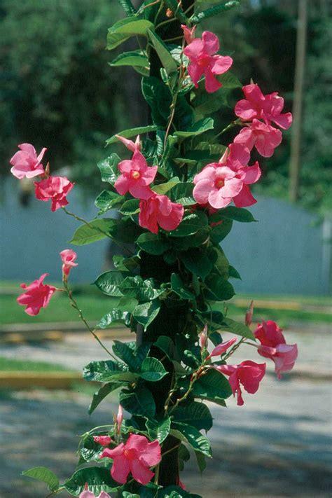 Kletterpflanzen Mit Blüten by High Octane Vines Tennessee Gardener Web Articles