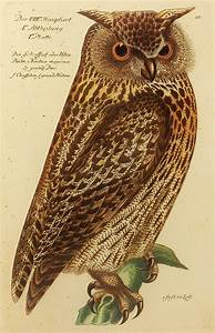 Vintage Bubo Noctua Maxima Owl Bird Print (Wall Hanging ...