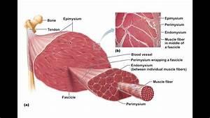 Chapter 9 2 Skeletal Muscle Anatomy Bio201