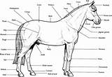 Coloring Horse Realistic Pages Printable Bubakids sketch template
