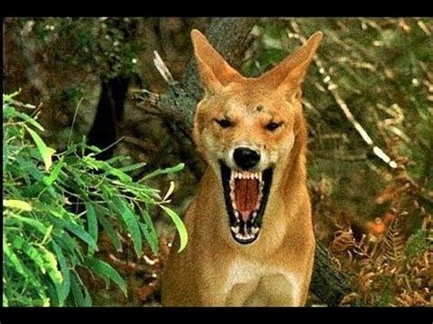 strangest animals   australia youtube