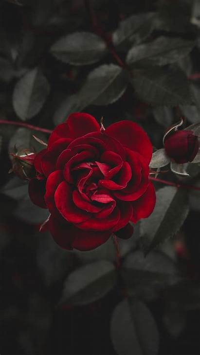 Rose Flower Bud Background Iphone 6s Parallax