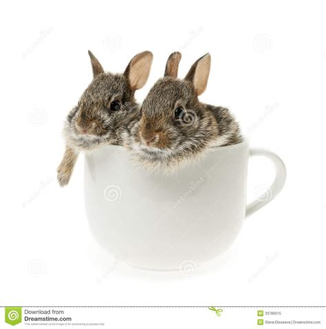 Two Baby Cottontail Bunny Rabbits In Cup Royalty Free Stock Photo   Image: 33780515