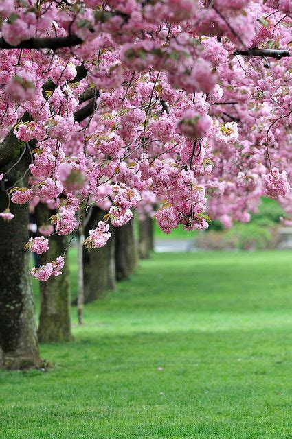 botanical garden cherry blossom 77 best ideas about best images in the world on