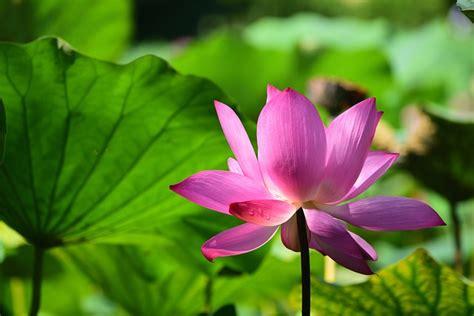 lotus flower color meanings lotus flower color meanings best 25 lotus flower tattoos
