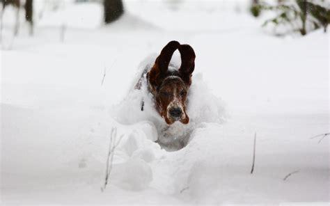 basset hound hd wallpaper background image