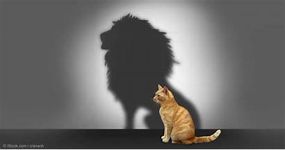 Self Confidence Lion Shadow Cat Cats Kitty