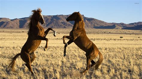 wild horse horses fighting wallpapers getwallpapers