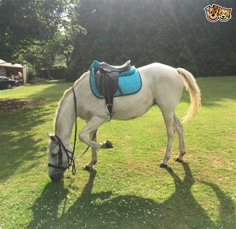 hh grey connemara pony  sale maidstone kent