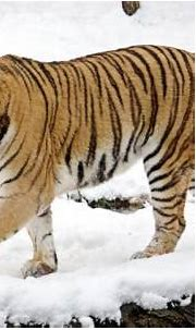 Siberian tiger family spotted in northeast China