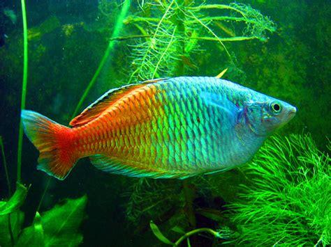 boeseman  rainbowfish  life  animals