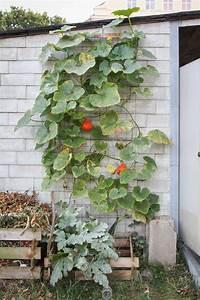 Hokkaido Kürbis Ernten : k rbis anpflanzen pflegen und ernten plantura ~ Orissabook.com Haus und Dekorationen