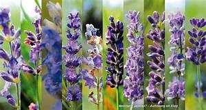 Lavendel Sorten übersicht : 20 namenlose lavendelarten r hlemann 39 s blog ~ Eleganceandgraceweddings.com Haus und Dekorationen