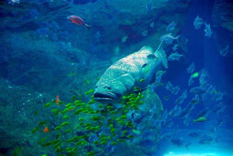 grouper aquarium dubai giant pbase nov 2008