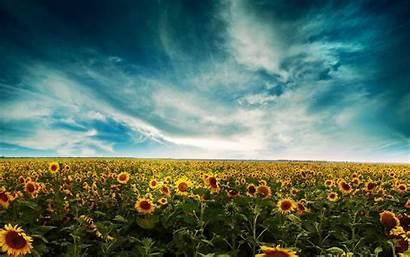 Sunflower Desktop Wallpapers