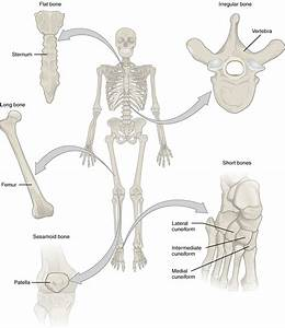 Bone Classification  U2013 Anatomy  U0026 Physiology