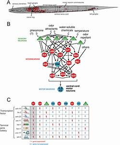 Neurogenesis In The Nematode Caenorhabditis Elegans