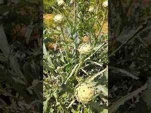 Comment Se Débarrasser Des Pucerons : comment se d barrasser des pucerons sur les artichauts ~ Dallasstarsshop.com Idées de Décoration