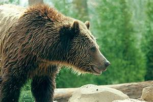 Grizzly Bear Profile Free Stock Photo - Public Domain Pictures