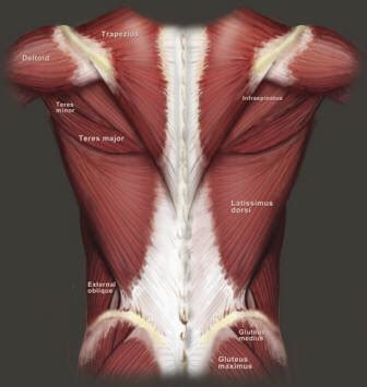 It is like that for several reasons, all of which you can understand by looking at the anatomy of the. BACK MUSCLES ANATOMY | JACKED FOREVER