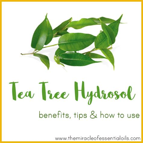 tea tree hydrosol benefits tips how to use the miracle of essential oils
