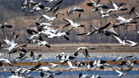 which birds migrate in the winter reference com