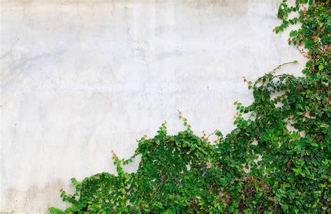 ivy covered wall wallpaper wall mural muralswallpapercouk