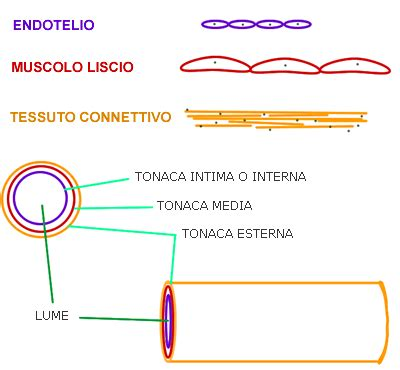 vasi capillari arterie